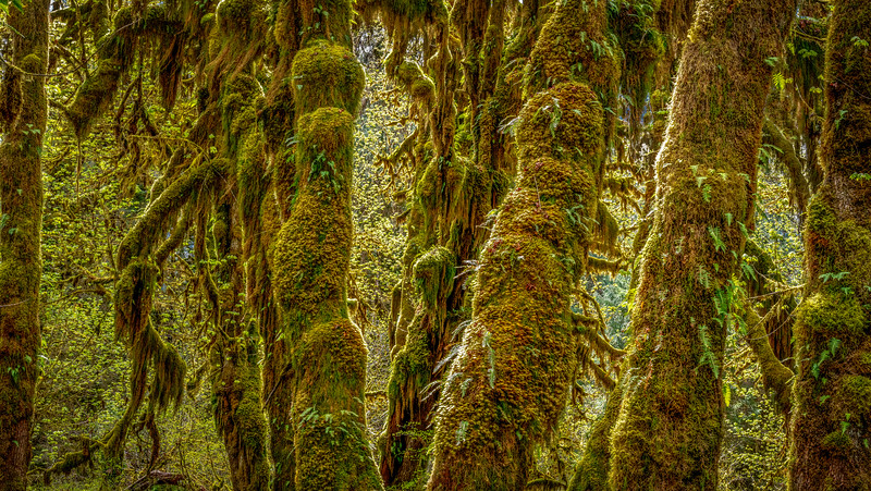 Hoh River Rainforest, Olympic NP