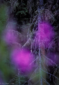 Cascade Rain Forest and Fireweed