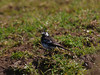 Pied Wagtail, Cresswell