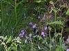 Bluebells at Rogie Falls