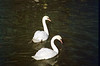 Mute Swans on the River Soar.