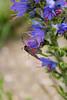 Six-spot Burnet (Zygaena filipendulae) moth