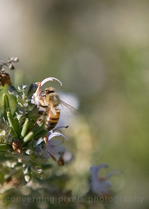 Bees in a bush in the back of Longstreet Casino and Lodge.