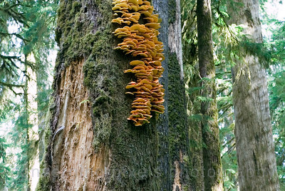 """Wild Mushrooms"", Hoh Rain Forest, Olympic National Park, Washington."