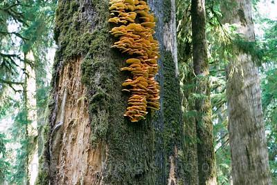 """Wild Mushrooms"", Hoh Rain Forest, Olympic National Park, Washington."