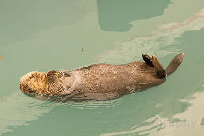 Sea Otter with a crab.