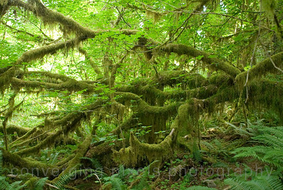 """Hoh Rain Forest  "" 2 ""- Olympic National Park, Wa."