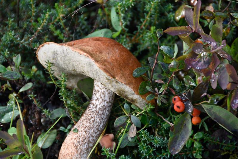 Denali Mushroom