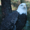 Bald Eagle in San Diego Zoo