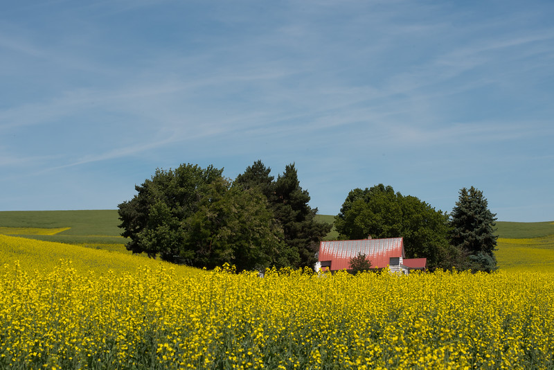Canola Fields in the Palouse