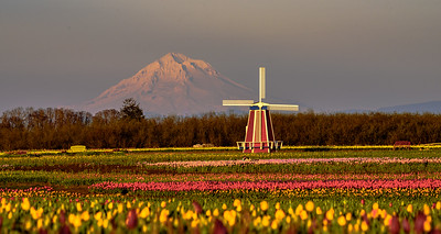 Mt Hood rises tall  Wooden Shoe Tulip Festival