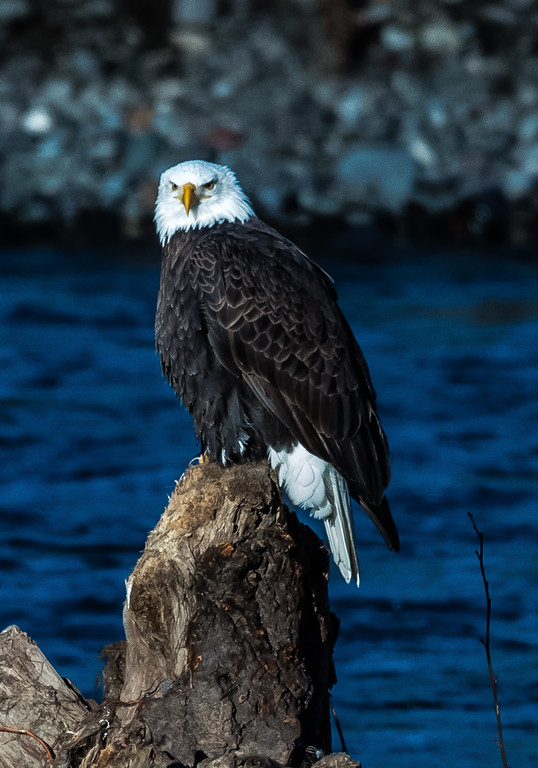 Bald Eagle, Deming