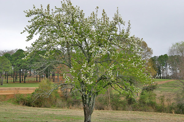 Pear Tree in bloom. Taken with my 10D+Tamron 28-75 f/2.8 Lens.
