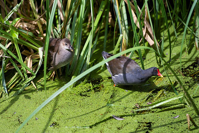 Baby and Mother Moorhen