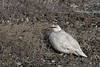 A Willow Ptarmigan (Lagopus lagopus) is still mostly in its winter white plumage but will soon turn to mottled brown. You can barely see its feather covered legs and feet in this photo. <br /> <br /> Deadhorse, Alaska, June 9, 2017.