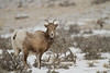 Bighorn Sheep (Ovis canadensis) in the snow. Yellowstone National Park. January 26, 2014.
