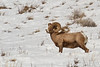 Beautiful male Bighorn Sheep (Ovis canadensis) in Lamar Valley in northern Yellowstone National Park. January 27, 2014.
