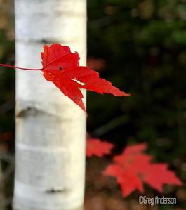 Birch Red