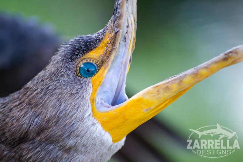 """""""Cormorant"""" (Everglades National Park, Florida)"""
