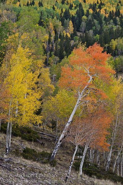 Aspens in New Mexico's Cruces Basin Wilderness, September 2012.
