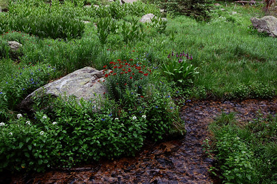 Flowers near Nambe Lake, Pecos Wilderness, July 2008.
