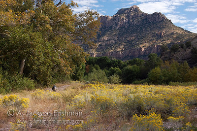 Autumn sycamores and blooming rabbittbrush in New Mexico's Gila River canyon, October 2008.