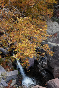 Autumn sycamore over Whitewater Creek, Catron County, New Mexico, October 2008.