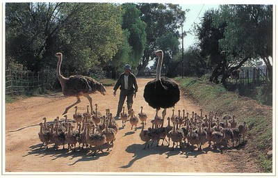 37_Little_Karoo_Ostriches
