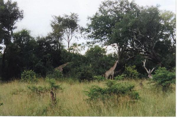 14_Safari_photos_Girafes_qui_mangent