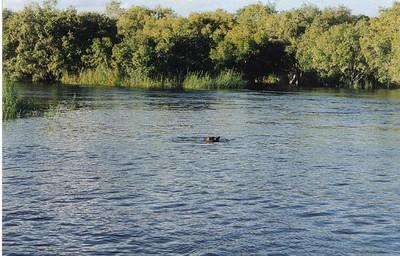 03_Zambesi_River_Hippopotame