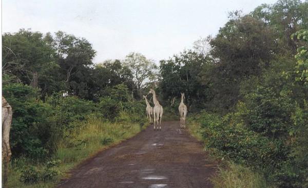13_Safari_photos_Girafes