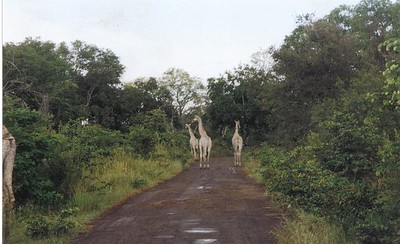 13_Safari_photos_Girafes