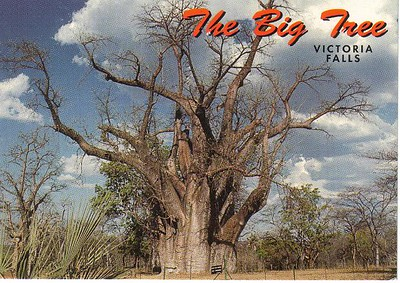 23_Victoria_Falls_The_Big_Tree_ Baobab