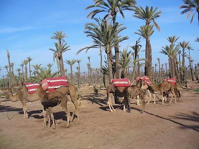 435_Marrakech_Palmeraie_12000_hectares_et_150000_arbres