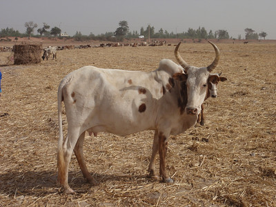 253_Mopti  The Fulani Tribe  A Healty Cow
