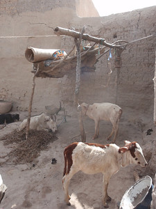 279_Mopti  The Fula Quarter  The Cows Lives in the Courtyard
