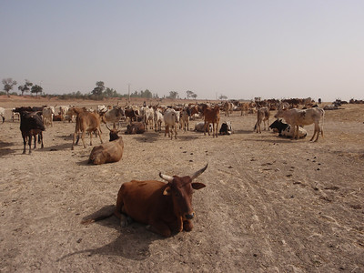 252_Mopti  The Fulani Tribe  The Cattle
