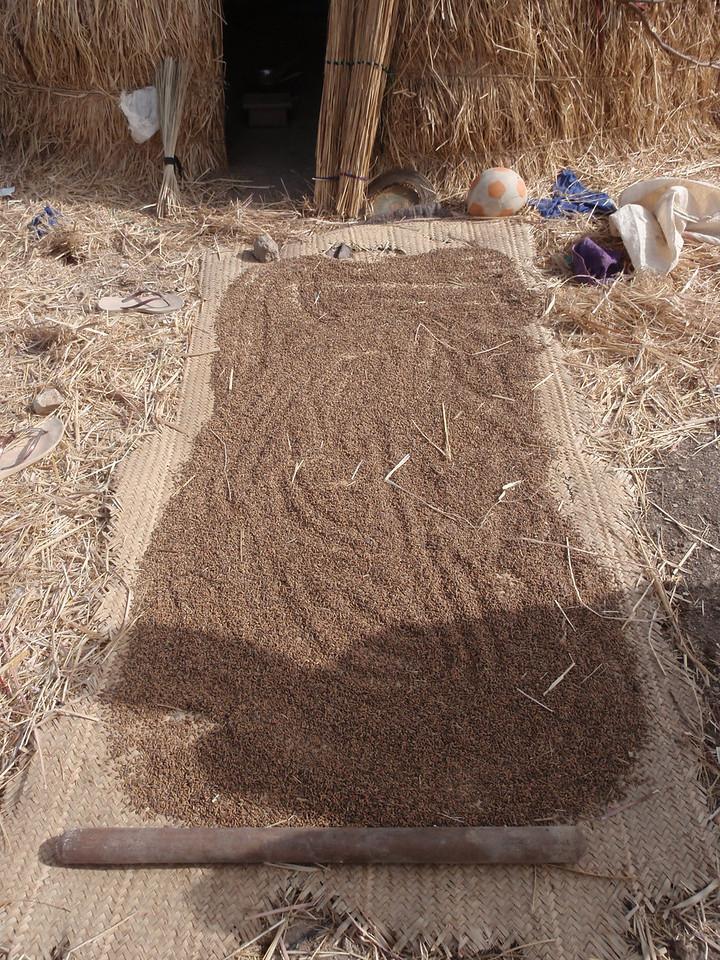 249_Mopti  The Fulani Tribe  Maize Drying under the Sun