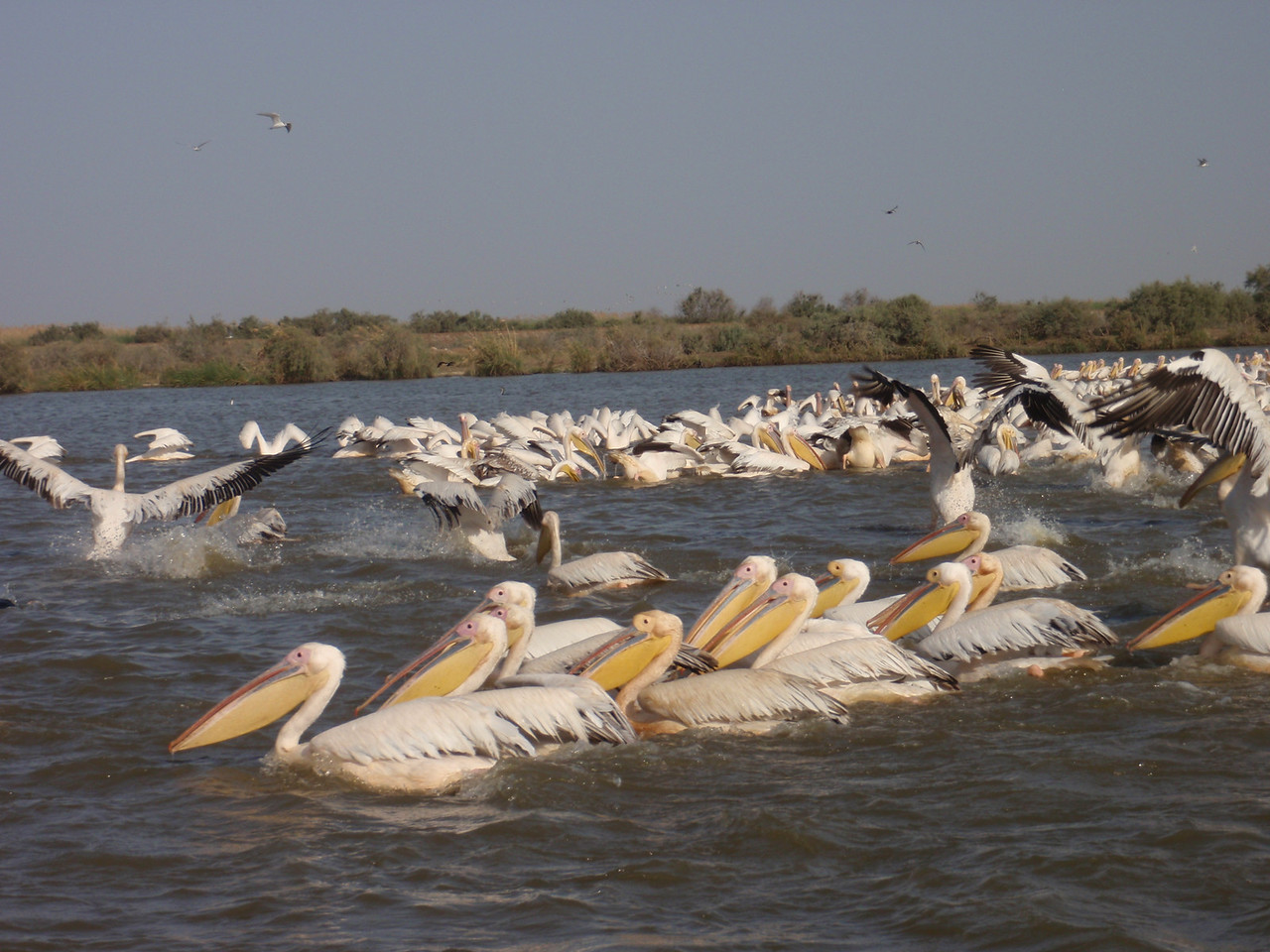 155_Djoudj National Bird Park  Pelicans Taking Flight