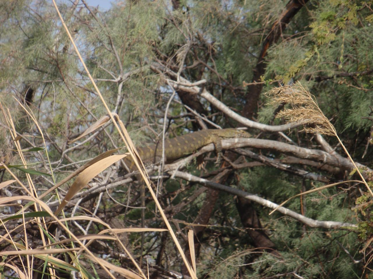 130_Djoudj National Bird Park  A Big Iguana