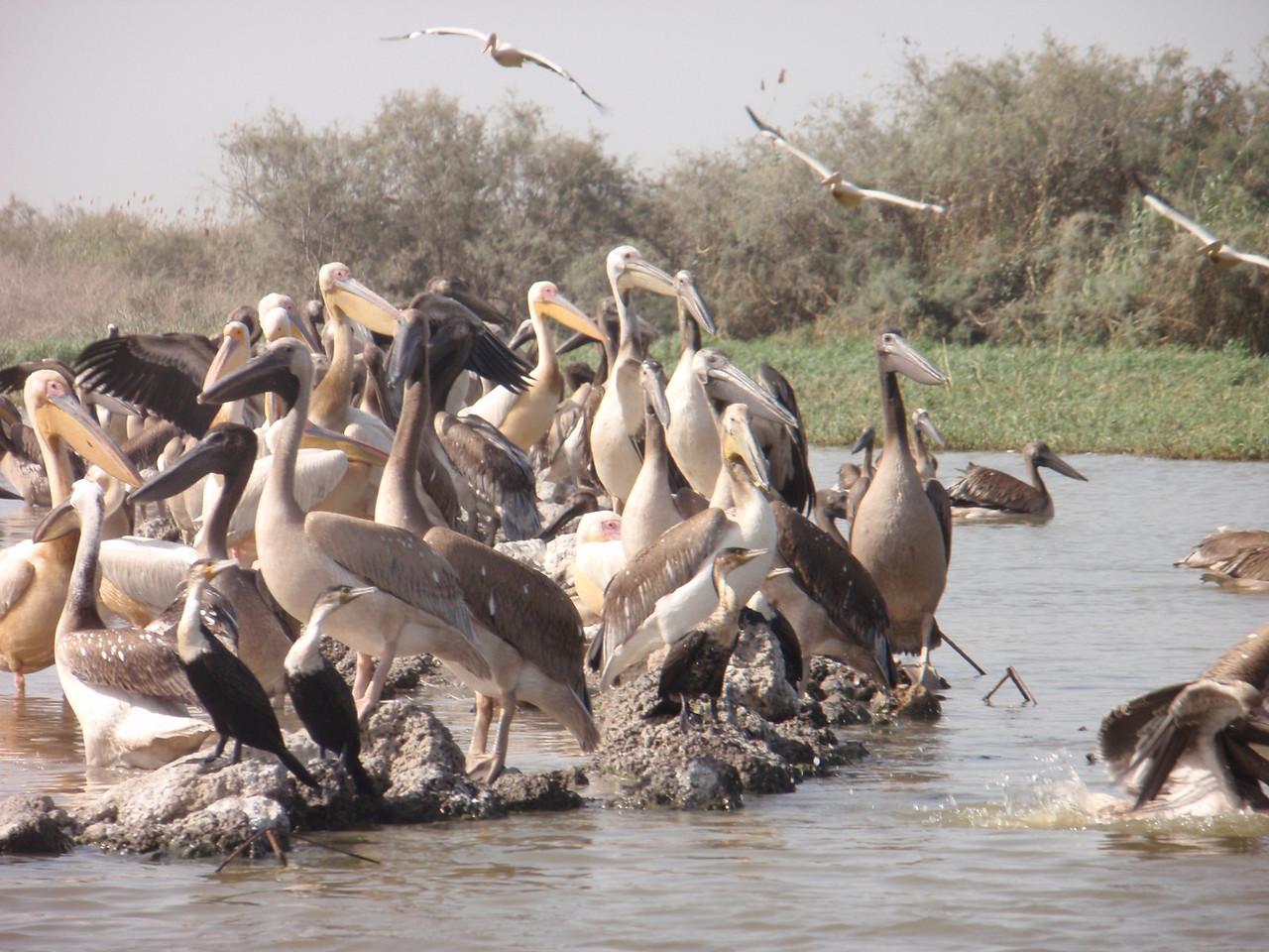 149_Djoudj National Bird Park  Colonies of Pelicans Taking Flight