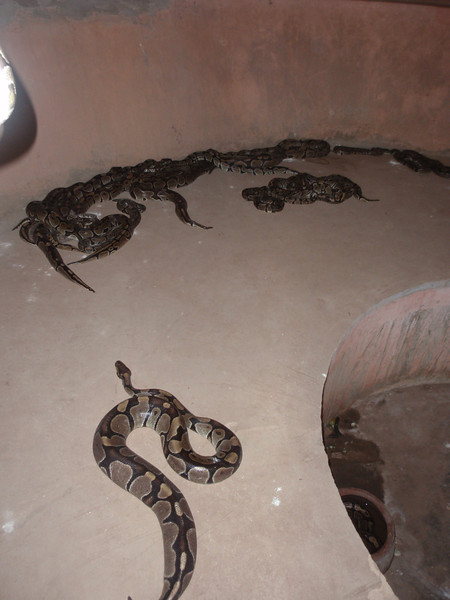 040_Python Temple  The Room Containing the 40 Sleepy Pythons
