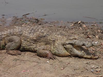 010_Sacred Crocodiles  A Totemic Animal Revered by the Kassenas