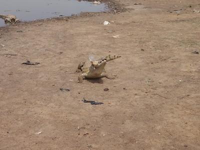 012_Paga  The Sacred Crocodile Eating the Chicken