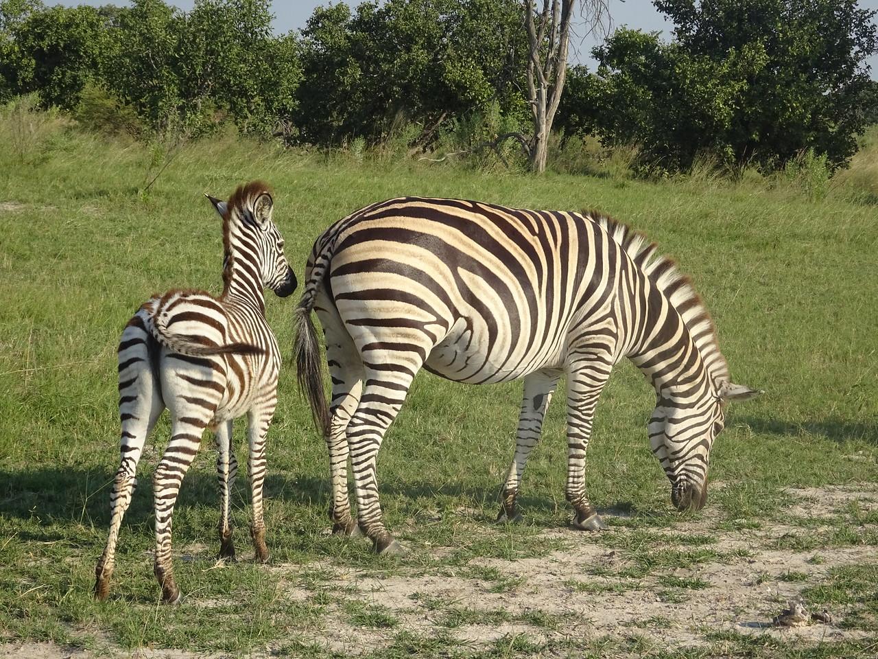 150_Okavango Delta, Moremi Game Reserve  4WD Safari  Burchell's Zebra  Female, pregnant