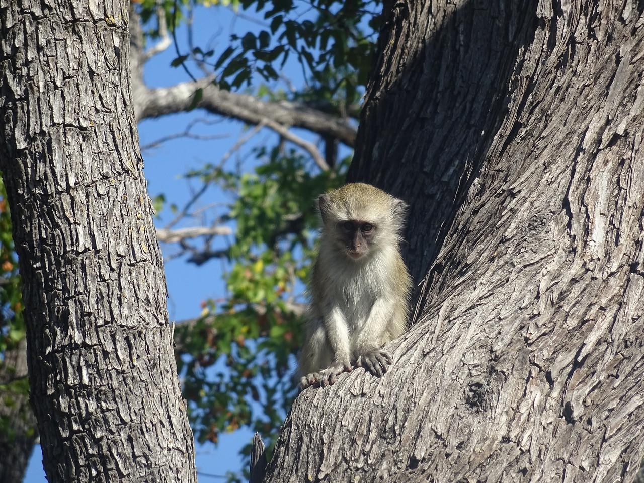 057_Okavango Delta, Moremi Game Reserve  4WD Safari  Velvet Monkey