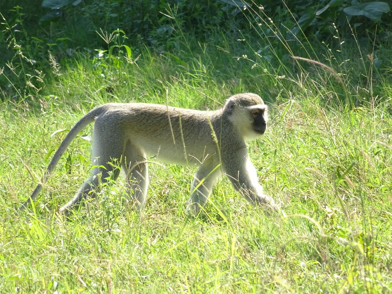 098_Okavango Delta, Moremi Game Reserve  4WD Safari  Velvet Monkey