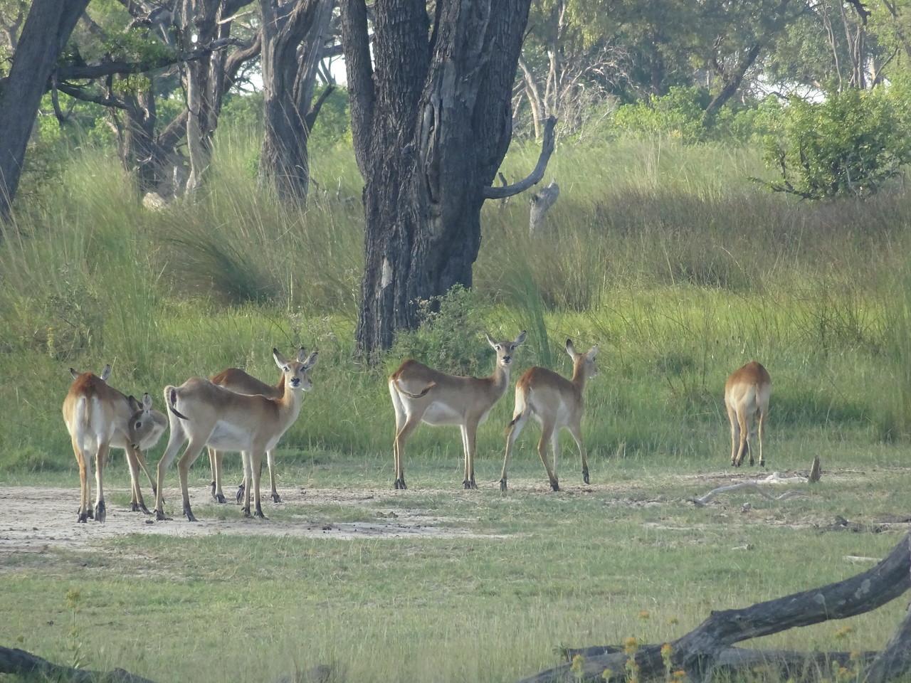 029_Okavango Delta, Moremi Game Reserve  4WD Safari  Impala herd  All females