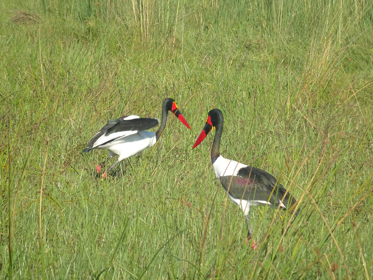 055_Okavango Delta, Moremi Game Reserve  4WD Safari  Saddlebilled Stork  Length, 1 4 m