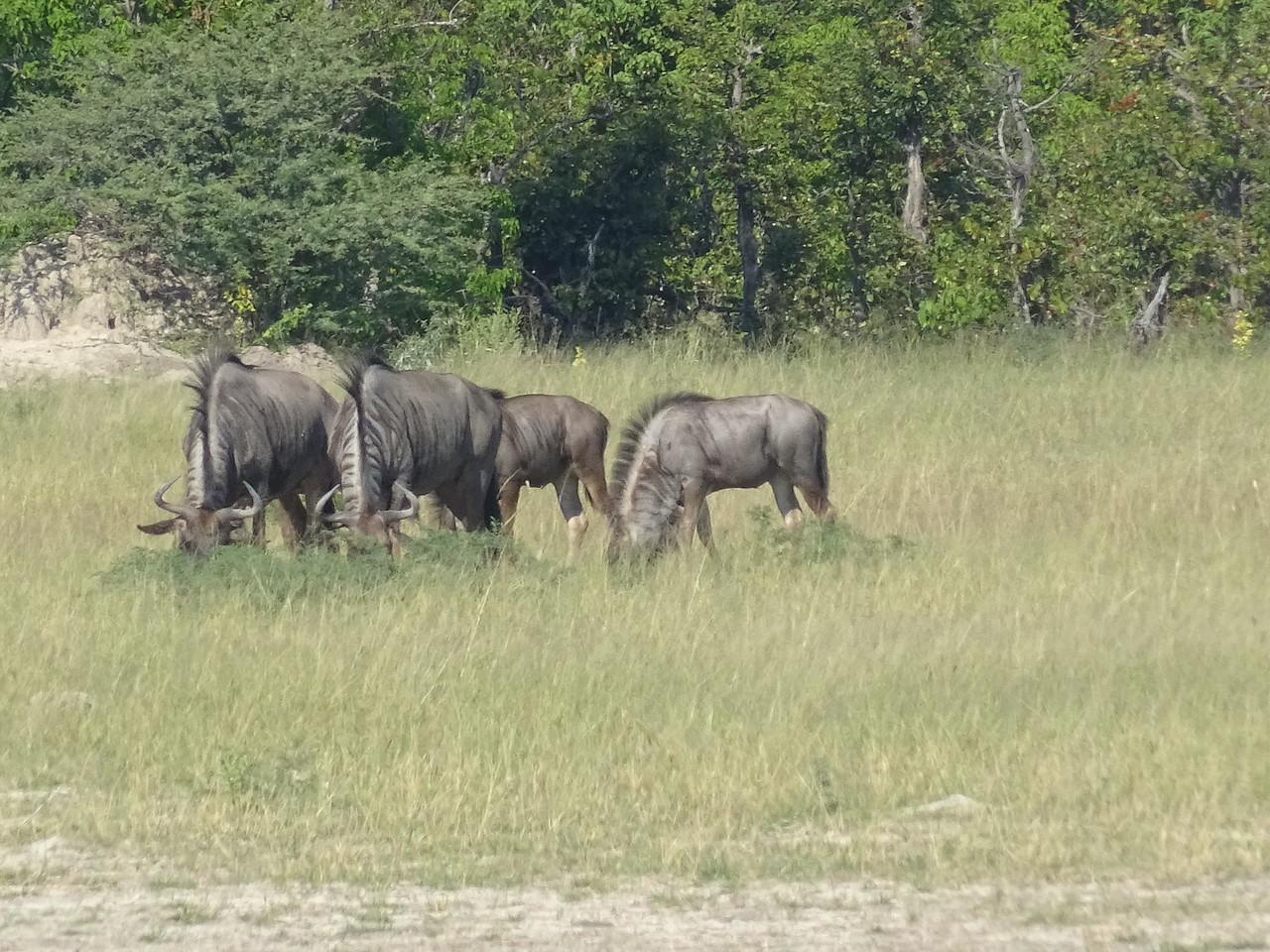 134_Okavango Delta, Moremi Game Reserve  4WD Safari  Blue Wildebeest